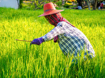 Full decorated Scarecrow in the rice fields Royalty Free Stock Image
