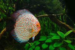 Full display discus fish in a planted environment Stock Images