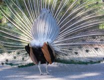 Full display of a peacock from behind Royalty Free Stock Image