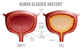 Bladder Anatomy scheme. Full and empty Urinary bladder. Human organ anatomy. Editable vector illustration in realistic style isolated on white background stock illustration