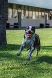 Full of energy and excited glee. Eager mixed breed dog leaping and smiling on campus stock photos