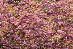 Full extent of simultaneous flowering. The branches of the almond trees are laden with blossoms to the full extent of simultaneous spring flowering Stock Photography