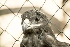 Full face big beige head of an eagle Royalty Free Stock Images