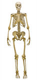 Full-face human skeleton on white. Human skeleton isolated on white background stock images