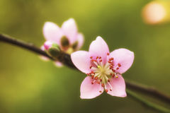 Full-face of pink plum blossoms Stock Images