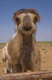 Full-face portrait Bactrian camel Stock Image