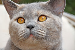 Full face shorthair cat Royalty Free Stock Photos
