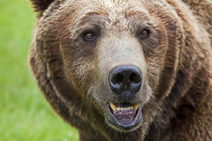 Full face view of grizzly brown bear Stock Images