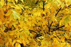 Full fall yellow foliage - Ash trees. Full yellow colors mid September of Ash trees Royalty Free Stock Photography