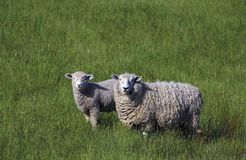 Full fleece ewe sheep with lamb in long green grass, New Zealand. Full fleece ewe sheep with lamb in long green grass looking at camera, Marlborough, New Zealand stock photography