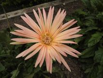 Full flower. Full size picture of flower royalty free stock image