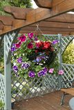 Full flowering hanging basket. A blooming hanging basket full of flowers hung on a garden pergola stock images