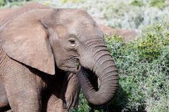 Full Frame The African Bush Elephant. The African bush elephant is the larger of the two species of African elephant. Both it and the African forest elephant stock images