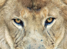 Full frame african lion ,transvaal,south africa Stock Photo