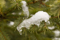Pine with snow Stock Images