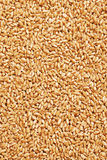 Grain of Wheat Royalty Free Stock Image