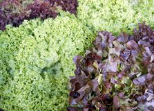 Red and green lettuce background Royalty Free Stock Photo