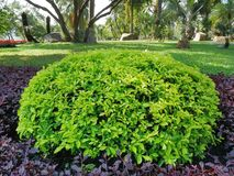Background of Small Green Bush in the Park. Full Frame Background of Small Green Bush in the Park royalty free stock photo
