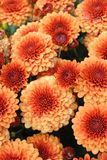 Full frame of bright orange autumn chrysanthemums. Gorgeous and classic fall colors wall-to-wall in this carpeting of big blooming orange mums Stock Photo
