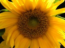 Full frame close up of a bright yellow sunflower with sunlight shining thought the petals on a dark background royalty free stock photos
