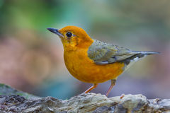 Full frame close up of Orange-headed Thrush Stock Photography