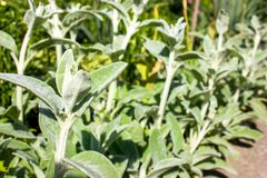 Full frame close-up Stachys byzantina lamb's ears or woolly h Stock Images