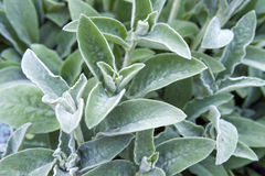 Full frame close-up Stachys byzantina lamb's ears or woolly hedgenettle ornamental plant grow in herbal garden. Full frame close-up Stachys byzantina lamb Stock Images