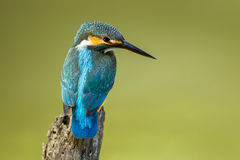 Full frame of Common Kingfisher Royalty Free Stock Photo