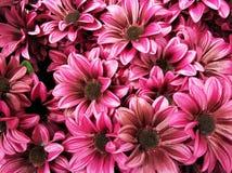 Full frame Spring daisy flowers background. Full frame daisy flower background stock images