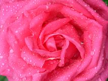 Full Frame Dew Coated Rose Stock Photo