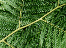 Full Frame Fern Royalty Free Stock Image