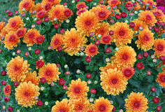 Full Frame Gold and Red Chrysanthemums Stock Photo
