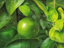 Full Frame Green Background of Lime Tree. With Close-up Lime Fruit royalty free stock images