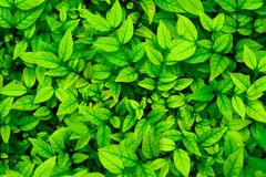 Full frame green leaf nature for background. Beautiful, top, view, above, description, fresh, bright, colorful, texture, surface, pattern, plant, tree, garden stock photo