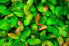 Full frame green leaf nature for background. Beautiful, top, view, above, description, fresh, bright, colorful, texture, surface, pattern, plant, tree, garden royalty free stock image