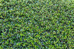 Full frame hedge background Stock Photography