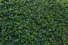 Full frame hedge background Stock Image