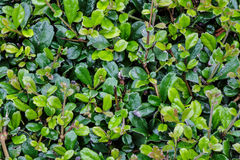 Full frame hedge background Royalty Free Stock Photography