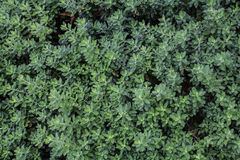 Full frame hedge background Royalty Free Stock Photos