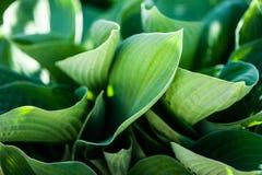 Full frame Hosta leaves pattern background. Summer plants royalty free stock image
