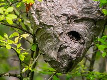 Wasp Nest Hanging in Tree, Full Frame royalty free stock photography