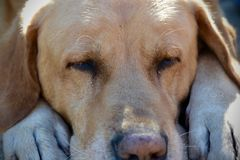 Full frame labrador retriever dog sleeping royalty free stock photography
