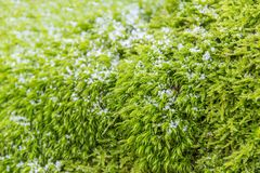 Frosty moss leaves. Full frame low angle shot of frosty green moss leaves Royalty Free Stock Images