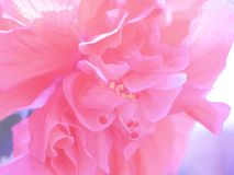 Full frame pink shoe flower or Chinese Rose. Blurred Hibicus hybrid use for background hibiscus tropical sinensis nature garden natural blossom flora petal stock photos