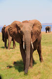 Full Frame portrait of an african elephant in Bumi National Park Royalty Free Stock Photos