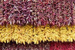 Full frame shot of red and yellow chili peppers. Full frame shot of hanging red and yellow chili peppers bunches royalty free stock images