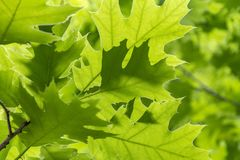 Sunny oak leaves Stock Images