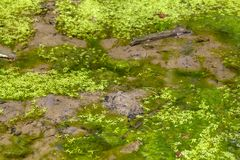 Swampland detail. Full frame swampland detail including some alga and lemna plants stock photography