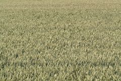 Full frame wheat field Royalty Free Stock Photo