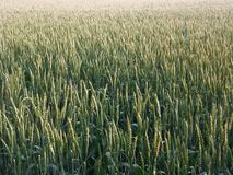 Full frame wheat field Stock Image